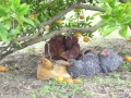 Chickens under orange tree.jpg